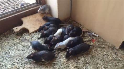 ratten in der wohnung unfassbar hier werden 200 tiere im ratten haus gef 252 ttert