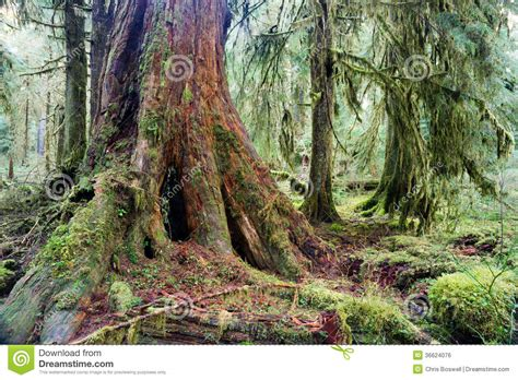 giant red cedar tree stump moss covered growth hoh