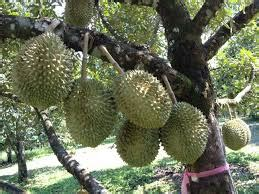 Bibit Durian Bawor Pekanbaru bibit durian pusat bibit durian montong dan bawor di