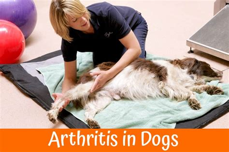 arthritis in dogs zyrtec for dogs the best allergy medication a guide and review in 2017 us bones