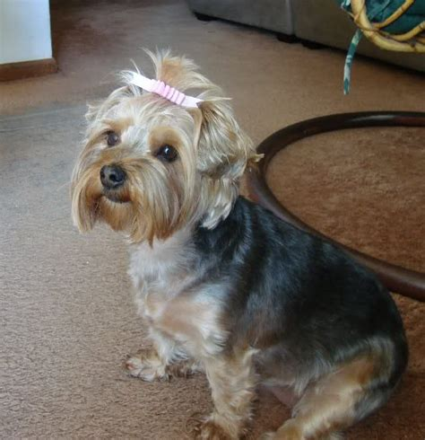 yorkie shih tzu haircuts haircuts for dogs make of shih tzu pet yorkie picture to pin on thepinsta