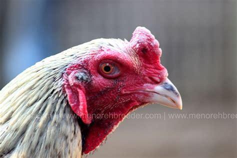 Ayam Trah Birma X Saigon gambar ayam import bangkok gambarrrrrrr