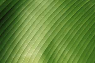 banana leaf template banana leaf detail free stock photo domain pictures