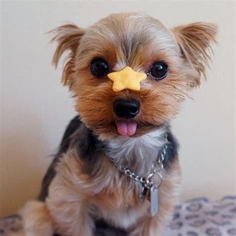 all things yorkie 20 things all yorkie owners must never forget the last one brought me to tears