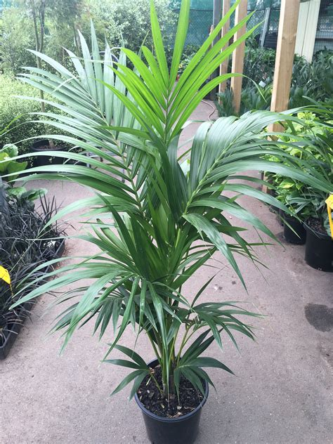 Indoor Plants For Home by Kentia Palm 250mm Pot Westlake Nursery