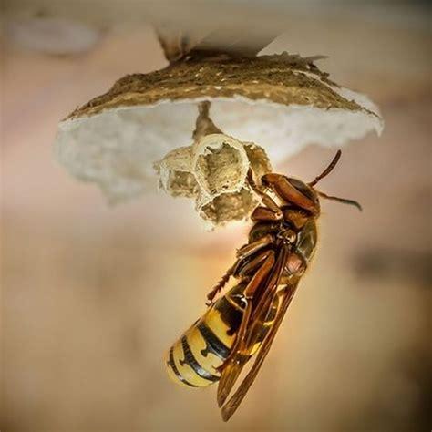wie sie die hornissenkoenigin  nestbau und groesse erkennen