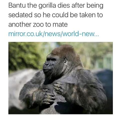 Gorilla Meme - bantu the gorilla harambe the gorilla know your meme