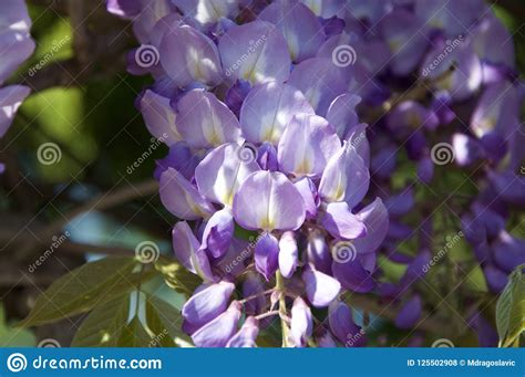 copy right free pictures of purple wisteria blue wisteria tree stock photos royalty free pictures