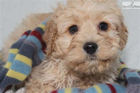 dog breeders puppies for sale michigan pin cockapoo puppies for sale in michigan on pinterest