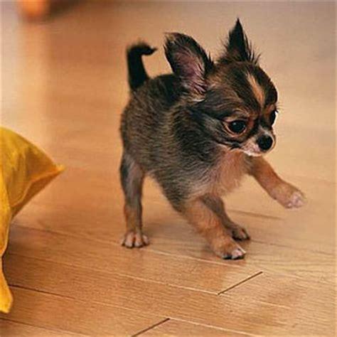 how to a chihuahua puppy chihuahua puppy
