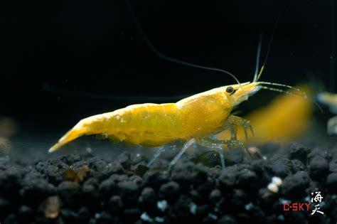 yellow shrimp information cherry shrimp