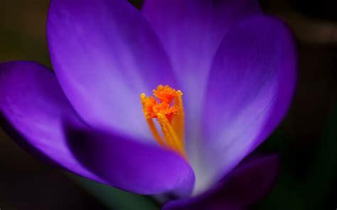 imagenes de flores llamadas violetas todo sobre los significados de las flores significado de