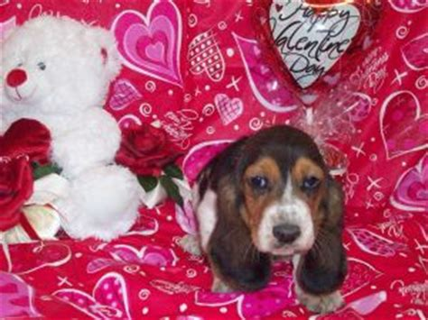 basset hound puppies for sale in ky basset hound puppies in kentucky