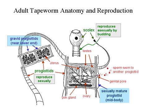 tapeworm diagram zo 150 study aids