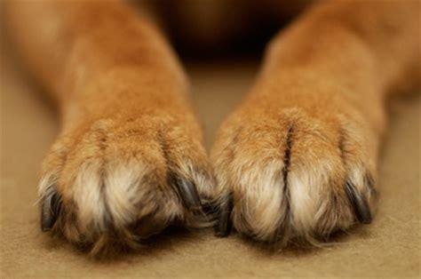 imagenes de gatas blancas patas de cachorros schnauzi com