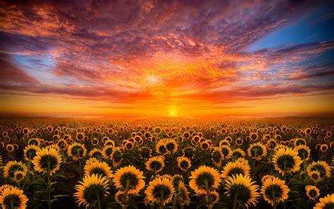 sunset red sky cloud field with sunflower hd desktop