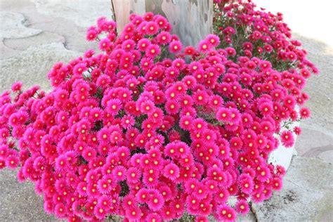 cespugli sempreverdi con fiori piante cascanti sempreverdi idee per il design della casa