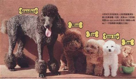 can my teacup poodle get the standard poodle haircut the life of an agouti winter white blackie teacup