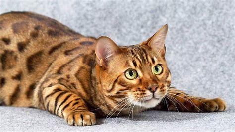 Inidia Cat 33 nasze kociaki