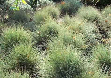 engelshaar pflanze festuca cinerea blauschwingel in sorten