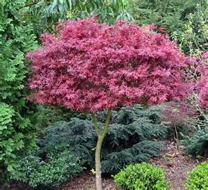 15 best images about landscape trees and shrubs on
