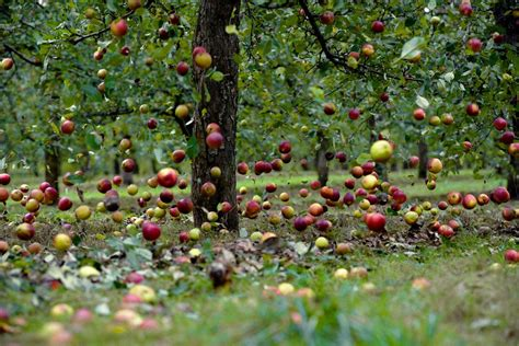 why are many fruit plants trees the falling apple 500ish words