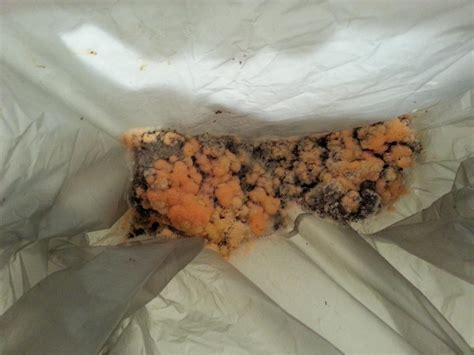 orange bathroom mold fungus on used tea leaves biology science forums