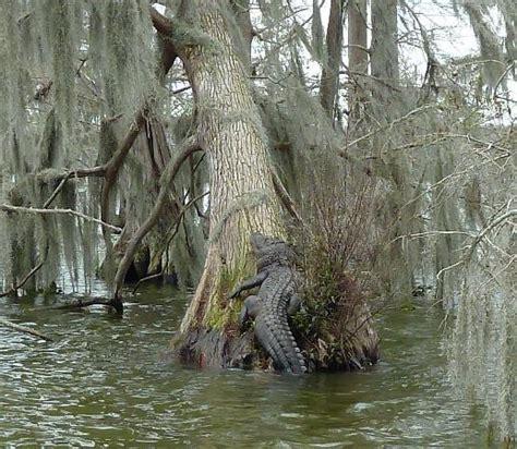 gator tree gator tree picture of chagne s cajun sw tours