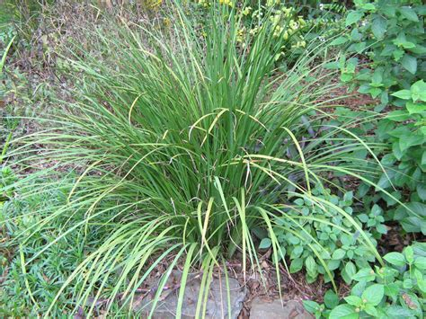 common backyard plants help me identify this plant flower iris growing grass