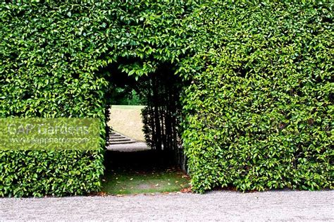 portuguese laurel topiary portuguese laurel topiary home design inspirations