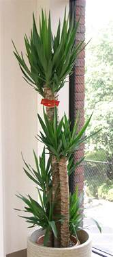 zimmerpflanzen beleuchtung fichier yucca elephantipes2 jpg wikip 233 dia