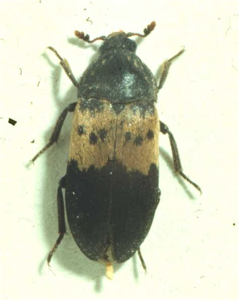 Insects In Pantry by Larder Beetle Insect Id