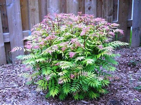 medium size shrubs for shade 24 best deciduous shrubs sun images on flowering bushes flowering shrubs and