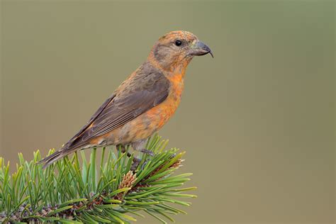 red crossbill 17