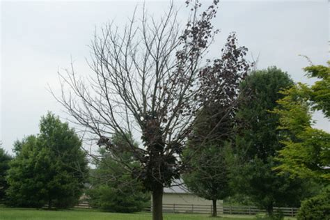 maple tree decline i ve got two leaf maple trees that for the past two years seen a lot ask an expert