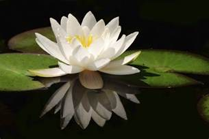 White Lotus Flower White Lotus Flower Flower Hd Wallpapers Images