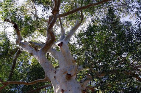 Obat Pelindung Tanaman tanaman penutup tanah tinggi atau tanaman pelindung the