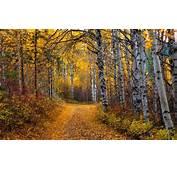 Nature Landscape Aspen Trees Leaves Yellow Path