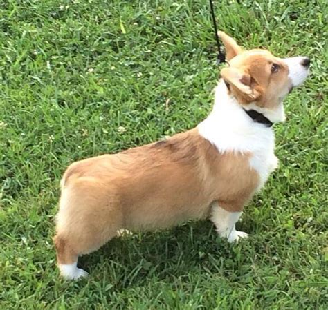 corgi puppies for sale 300 cardigan corgi puppies for sale in sweater tunic