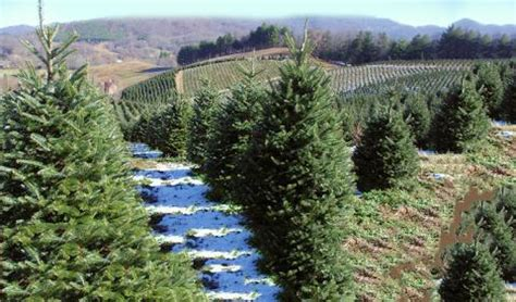 2018 christmas tree farms near nashville nashvillelife com
