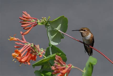 common garden hummingbirds of north america timber press