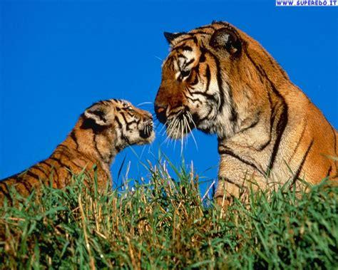 imagenes de tigres verdes sfondi tigri 62 sfondi in alta definizione hd