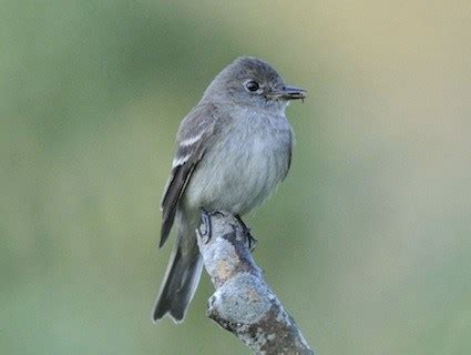 willow flycatcher identification all about birds