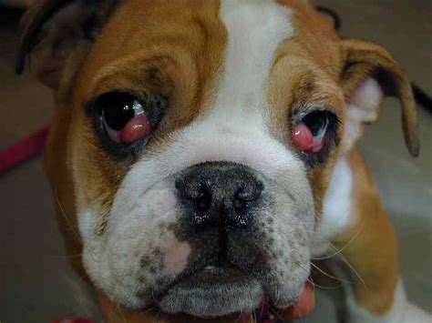 cherry eye in cherry eye in puppies search results dunia pictures