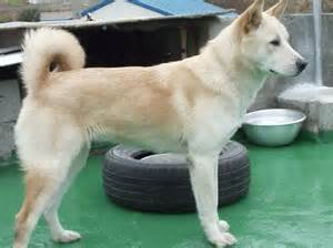 Dog Pungsan Dog Breed Guide Learn About The Pungsan Dog