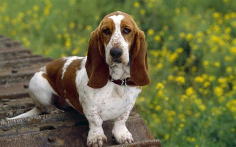 dogs with ears dogs with ears pets world