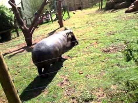 hippo  mandrill youtube