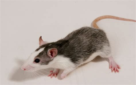 Patchwork Rat - how to introduce your pet rat to a new