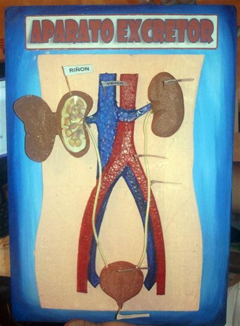 como hacer una maqueta del aparato digestivo de un gusano de tierra como hacer una maqueta del sistema circulatorio funcional