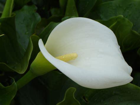 imagenes flores calas calas imagen foto archiv a r c h i v aktuell